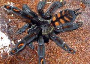 venezuelan-suntiger-tarantula