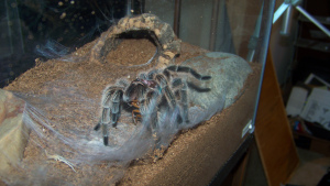 "Tiphane - G. porteri. Mature female. Six inches. ""Havin' a snack""."