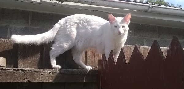 this picture shows Ziggy, the white tonkinese cat, walking along the top of the fence