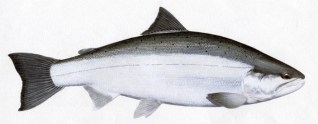 Chum Salmon -- Ocean Phase
