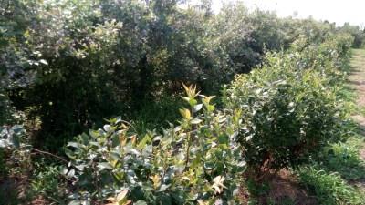無農薬のブルーベリーが摘み放題~つくば市・さいとうブルーベリー園