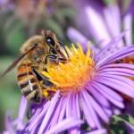 European honey bee extracting nectar