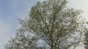 drought-stressed tulip poplar