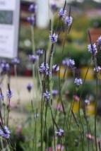 "Lavandula canariensis ""Canary Island Lavender"""