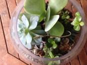 Succulents in a fishbowl terrarium