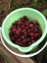 Bucket of Rosella calyxes