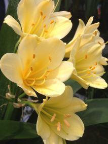 Clivia flowers