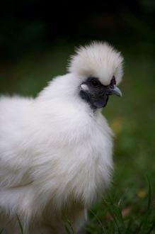 'Princess' a Chinese Silkie chicken