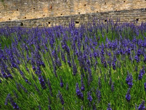 Lavender Research Trip