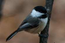 Black-capped Chickadee - November 2014