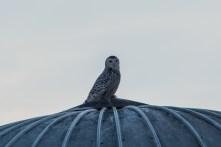 Snowy Owl - December 2014