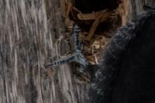 Pileated Woodpecker - zygodactyl toe arrangement
