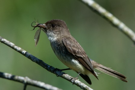 Eastern Phoebe - Edwin M. Griffin Nature Preserve