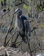 Great Blue Heron - Edwin M. Griffin Nature Preserve