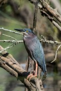 Green Heron - Edwin M. Griffin Nature Preserve