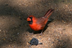 Northern Cardinal - Edwin M. Griffin Nature Preserve