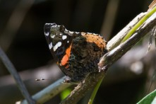 Red Admiral - Edwin M. Griffin Nature Preserve