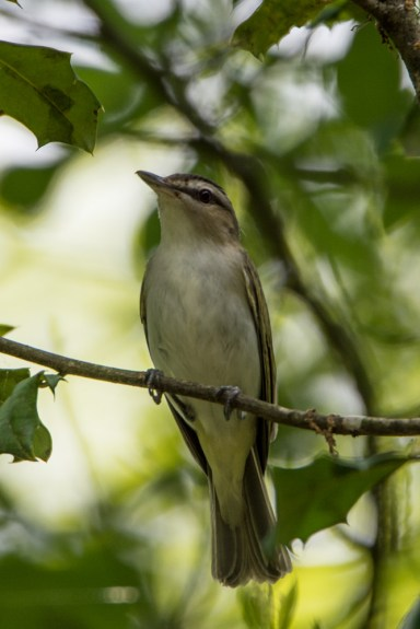 Red-eyed Vireo - Lake Conestee Nature Park