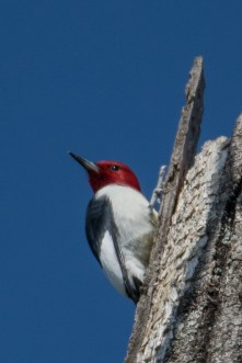 Red-headed Woodpecker - Edwin M. Griffin Nature Preserve