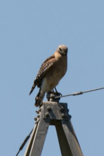 Red-shouldered Hawk - Edwin M. Griffin Nature Preserve