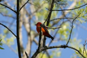 Scarlet Tanager - Edwin M. Griffin Nature Preserve