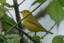 Yellow Warbler - Edwin M. Griffin Nature Preserve