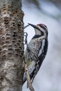 Yellow-bellied Sapsucker - with the shallow holes it excavates to feed on sap
