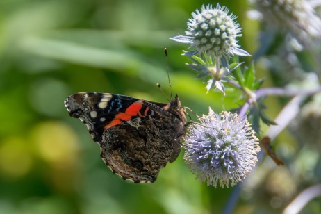 Contributed records of 35 butterfly species to the Maritimes Butterfly Atlas (Red Admiral).
