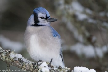 Blue Jay - Mew Lake Campground