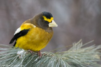 Evening Grosbeak (a first!) - Visitors' Centre