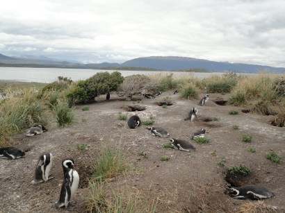 Penguin nests were scattered all over the place!