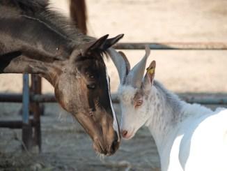 cavalli e pecore alla fattoria jannarella