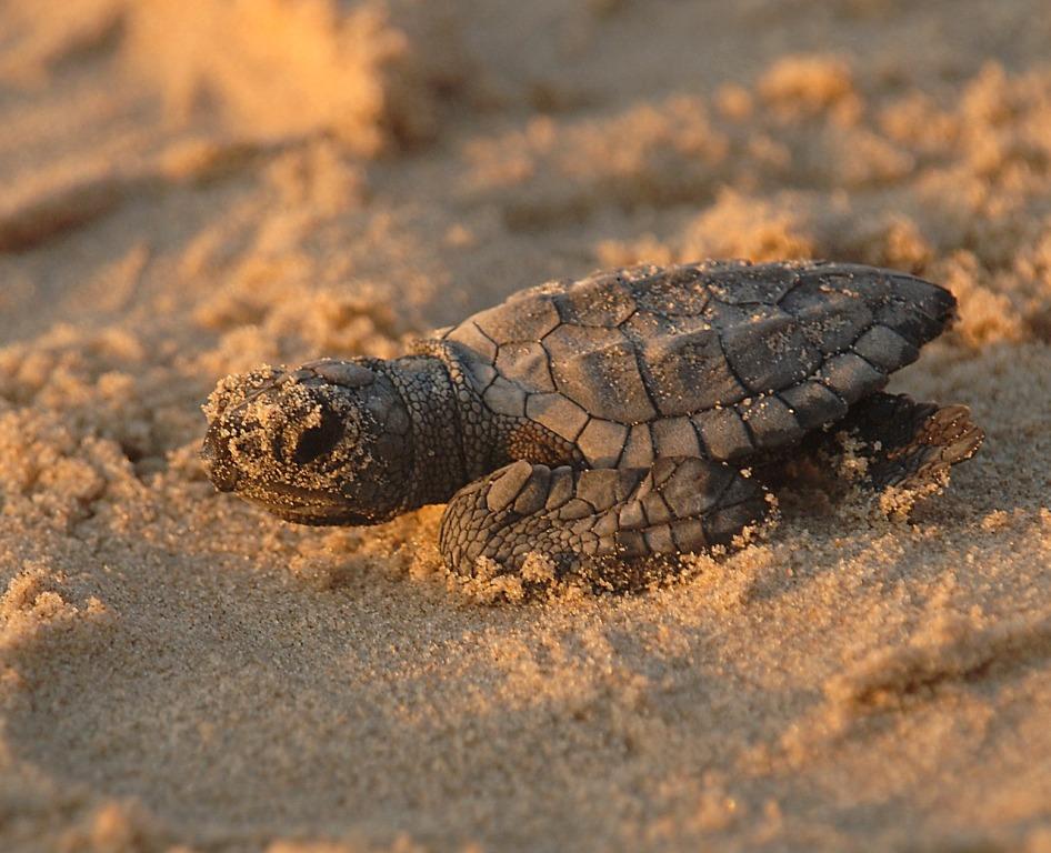 tartaruga caretta caretta nata presso la riserva naturale di vendicari
