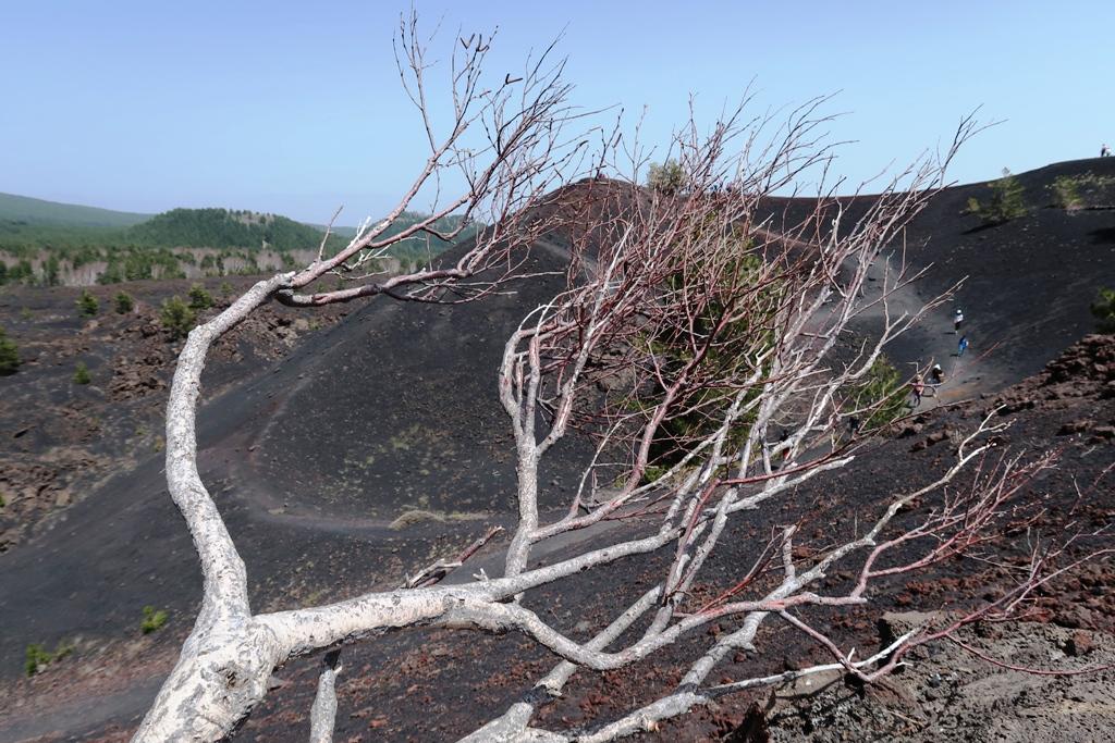 rami di una betulla dell'Etna