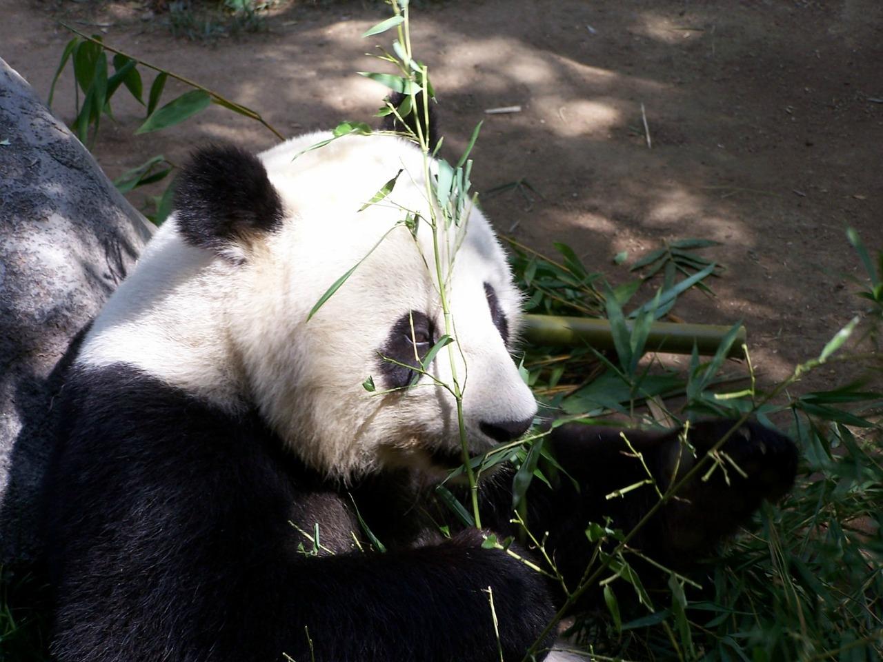 panda allo zoo di san diego