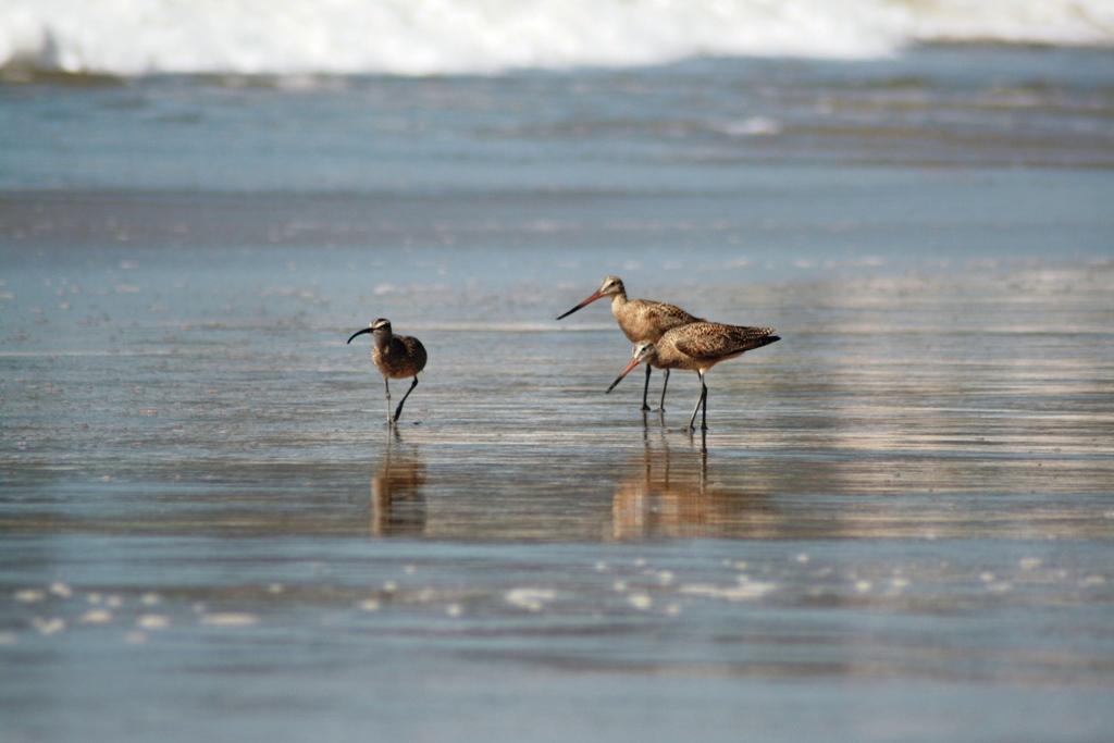 piovanelli sulla spiaggia di Malibù in California