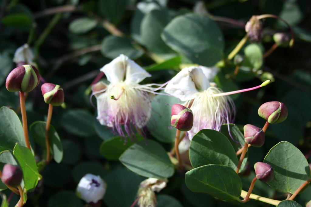 fiore del cappero alla riserva dello zingaro