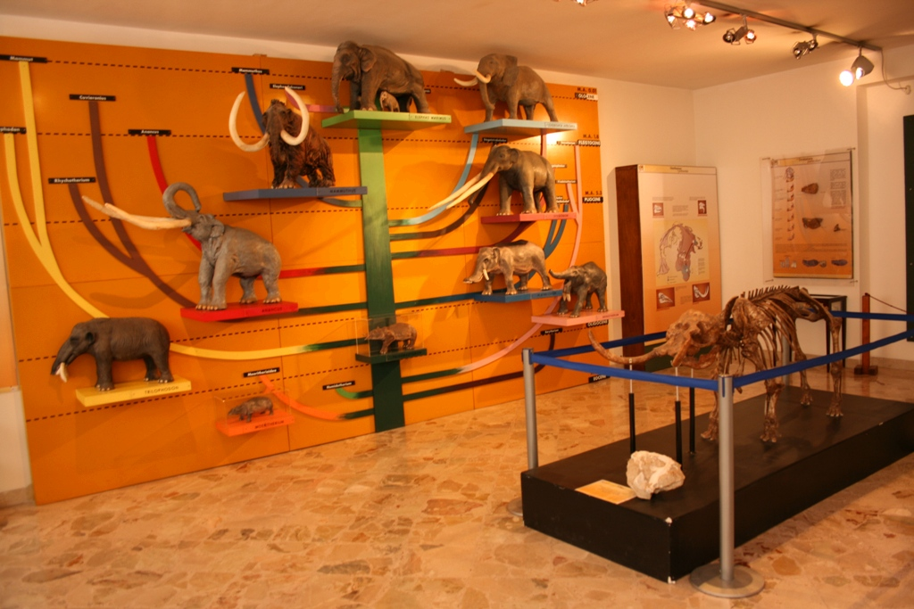 vari tipi di elefanti al museo geologico gemmellaro