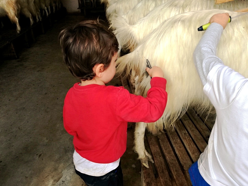 bimbo che spazzola una capretta girgentana ad agrigento