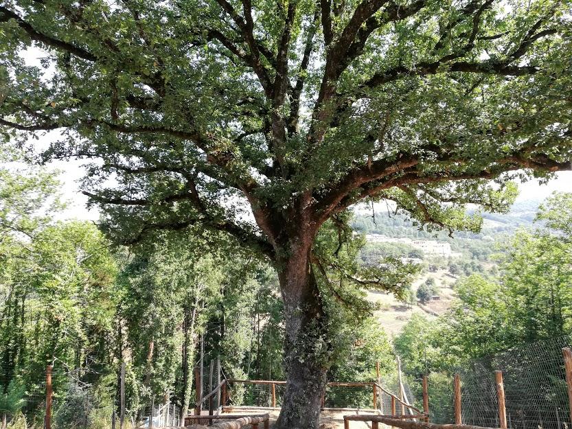 albero monumentale alla tenuta bocchineri
