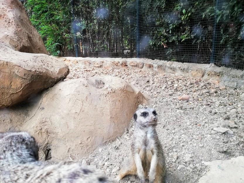 suricato al bioparco di Sicilia