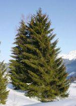arbre vieux