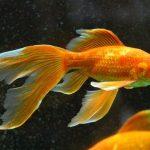 Interprétation du rêve de Céline : Le poisson rouge