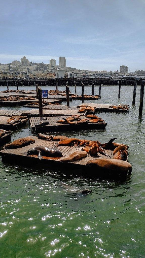 sea lions san francico pier 39