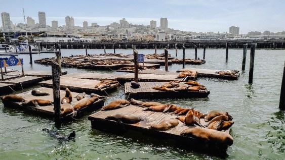 sea lions phoques san francico pier 39
