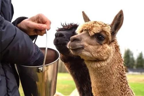feeding alpaca from bucket
