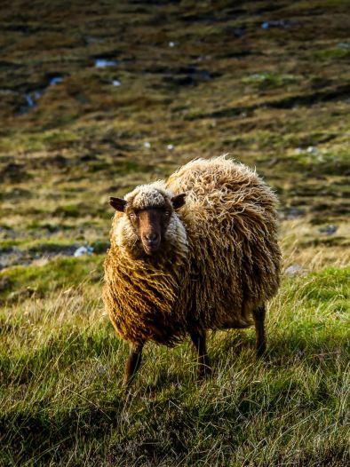 Rencontre avec un des 80000 moutons des Iles Feroe