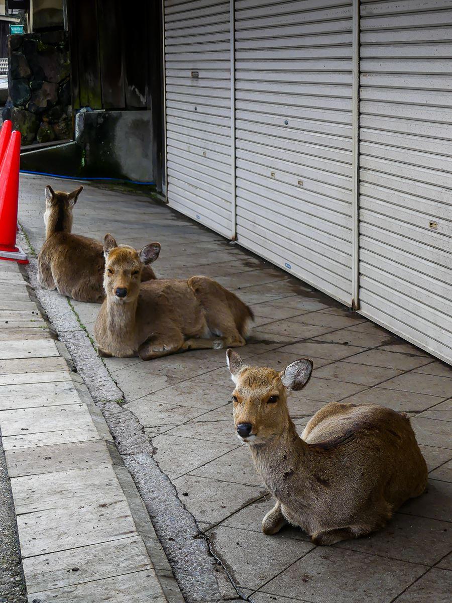 Les daims attendent l'ouverture des boutiques