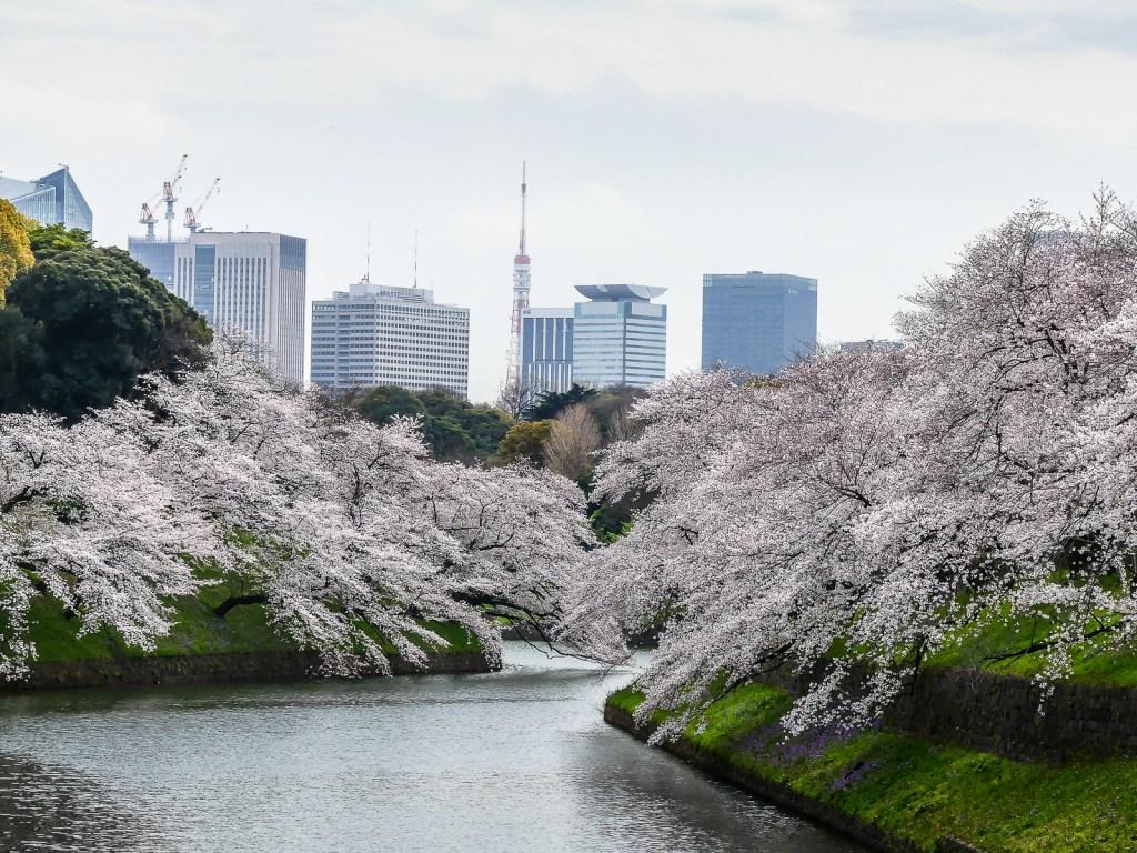 Cerisiers en fleurs depuis le Palais Impérial de Tokyo