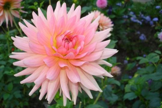 0311-dahlie-rose